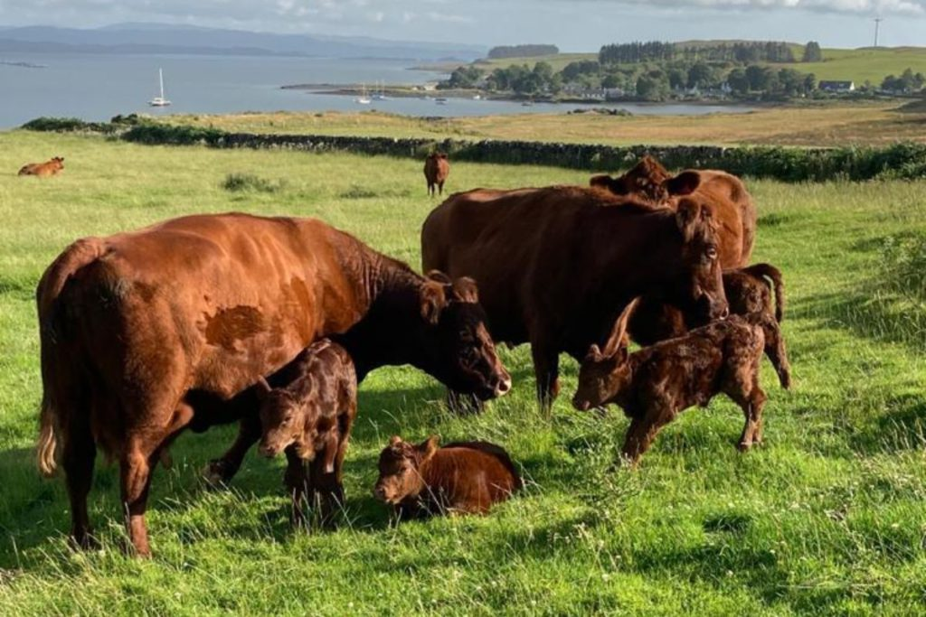 In this week's Suckler Focus, That's Farming, speaks to Jo and Chris Fewster about managing a large-scale operation comprising over 300 Luing cows and 1,800 sheep. They discuss all-year-round calving, having cattle outdoors year-round, virtual fencing, teams of 18 bulls and calving heifers at 24 months.