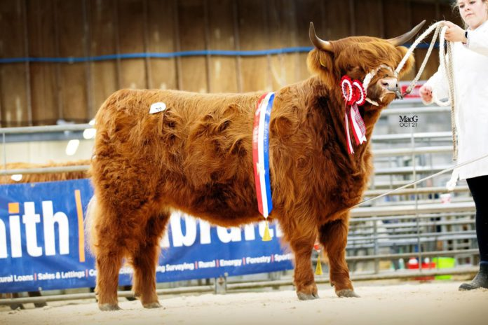 Report (with prices) from Highland Cattle Society's sale at Oban Livestock Centre. Carlin 6th of Culfoich was purchased by a German buyer.
