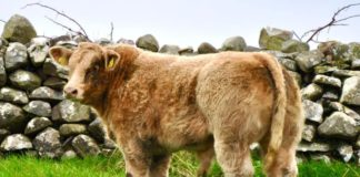 Report (with prices) from cattle sale of cull cows, heifers, bullocks, weanlings, calves and runners held at Castlerea Mart on 21-10-2021.