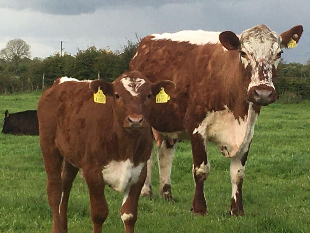An AI technician for Progressive Genetics, Tom Gannon, established his Irish Moiled herd under the Sandyhill prefix near Charlestown in the west of Ireland fifteen years ago. He acquired his foundation female, a two-year-old heifer, Swanthorpe Hula Hoop, from Elizabeth Miller, Hampshire, England, in 2006.